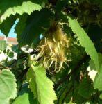 Baum Hasel Corylus colurna 02 2
