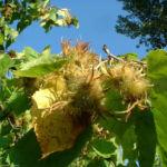 Baum Hasel Corylus colurna 03
