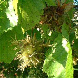 Baum Hasel Corylus colurna 04