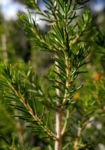 Baum Heide Blatt gruen Erica arborea 02