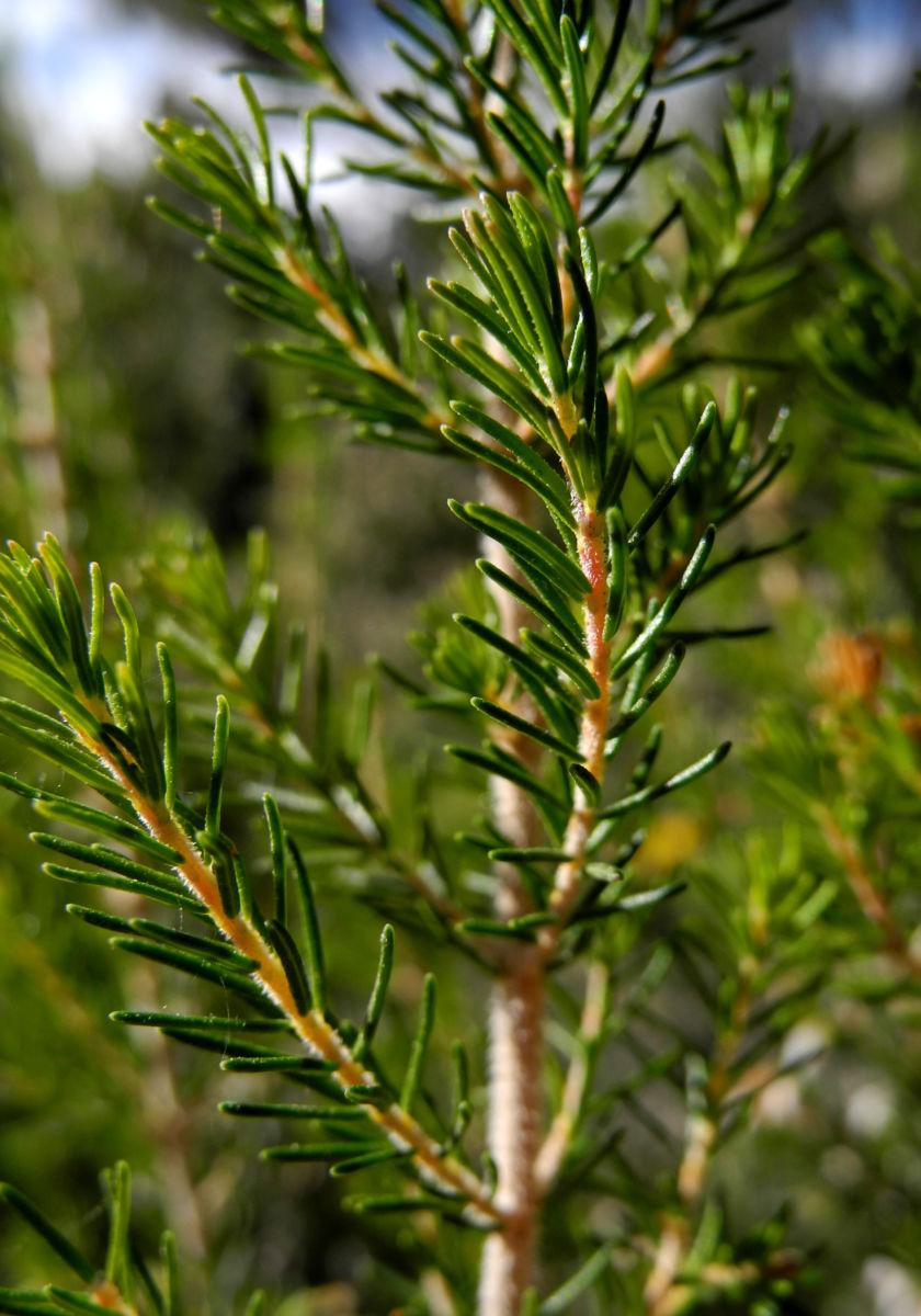Baum Heide Blatt gruen Erica arborea