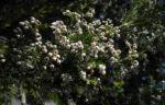 Baum Heide Bluete weiß Erica arborea 02