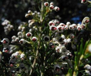 Baum Heide Bluete weiß Erica arborea 03