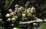 Bild:  Baumheide Blüte weiß Erica arborea