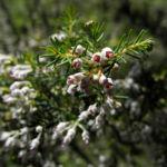 Baum Heide Bluete weiß Erica arborea 06