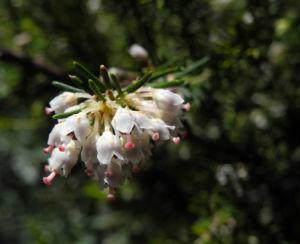 Baum Heide Bluete weiß Erica arborea 07