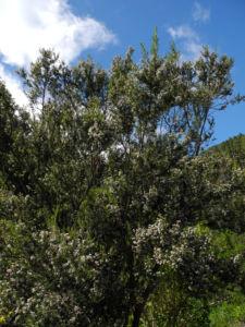 Baum Heide Bluete weiß Erica arborea 11