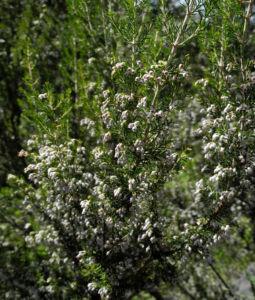 Baum Heide Bluete weiß Erica arborea 14
