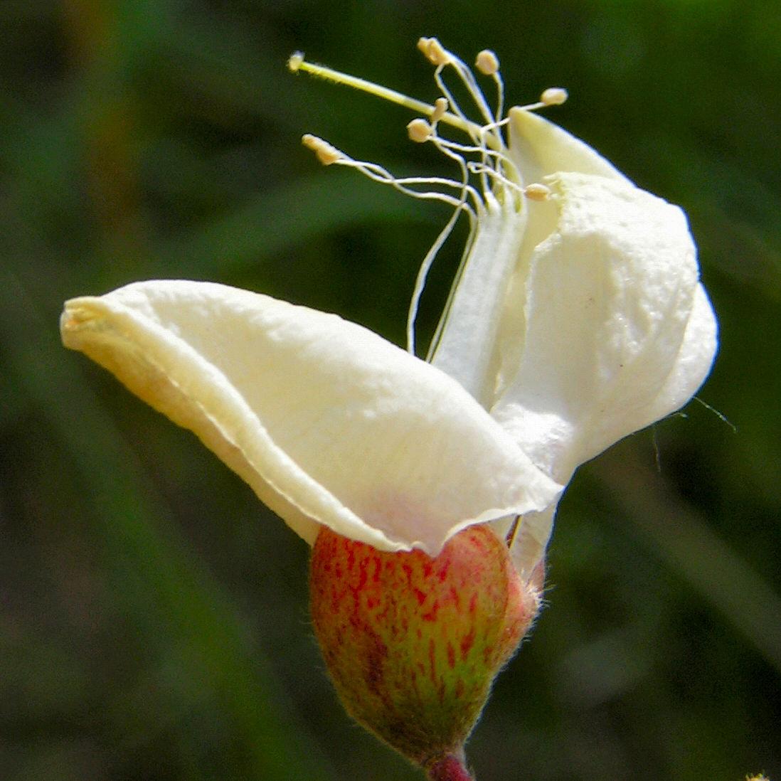 Baum Robinie Bluete weiss robinia pseudoacacia