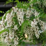 Baum Robinie Bluete weiss robinia pseudoacacia 02 2