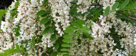 Anklicken um das ganze Bild zu sehen Gewöhnliche Robinie Blüte weiß Robinia pseudoacacia