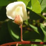 Baum Robinie Bluete weiss robinia pseudoacacia 05