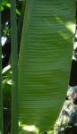 Baum der Reisenden Blatt gruen Ravenala madagascariensis 01