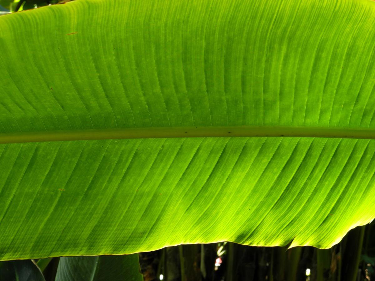 Baum der Reisenden Blatt gruen Ravenala madagascariensis