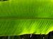 Zurück zum kompletten Bilderset Baum der Reisenden Blatt grün Ravenala madagascariensis