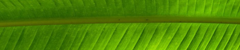 Anklicken um das ganze Bild zu sehen  Baum der Reisenden Blatt grün Ravenala madagascariensis