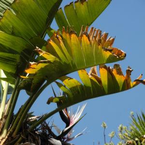Baum der Reisenden Blatt gruen Ravenala madagascariensis 06