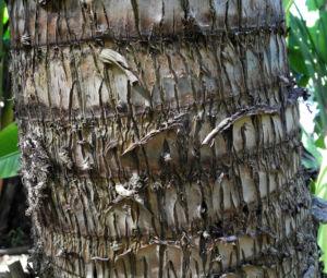Baum der Reisenden Stamm grau Ravenala madagascariensis 04