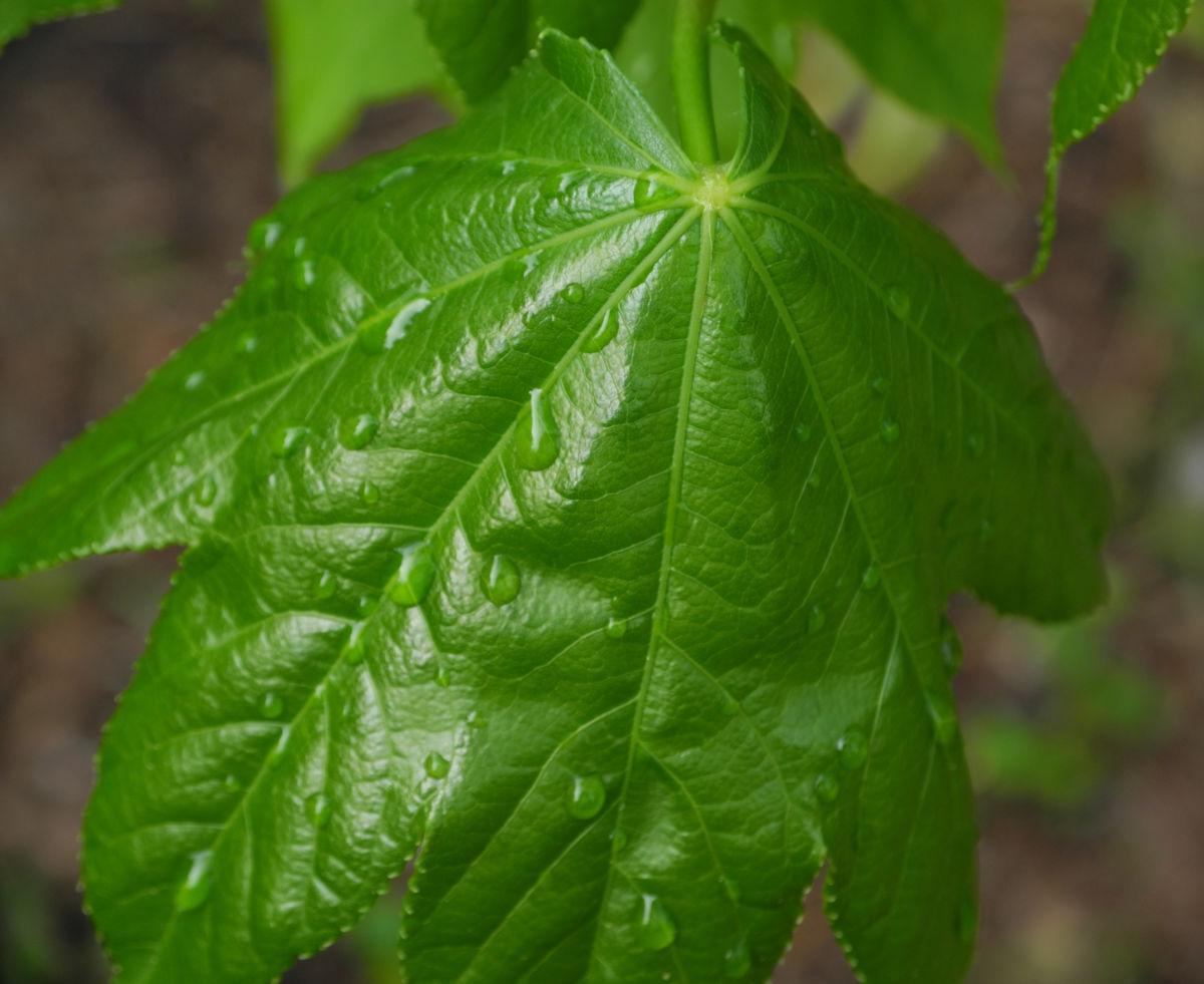 Baumaralie Blatt gruen Kalopanax pictus