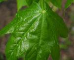 Baumaralie Blatt gruen Kalopanax pictus 09