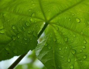 Baumaralie Blatt gruen Kalopanax pictus 11