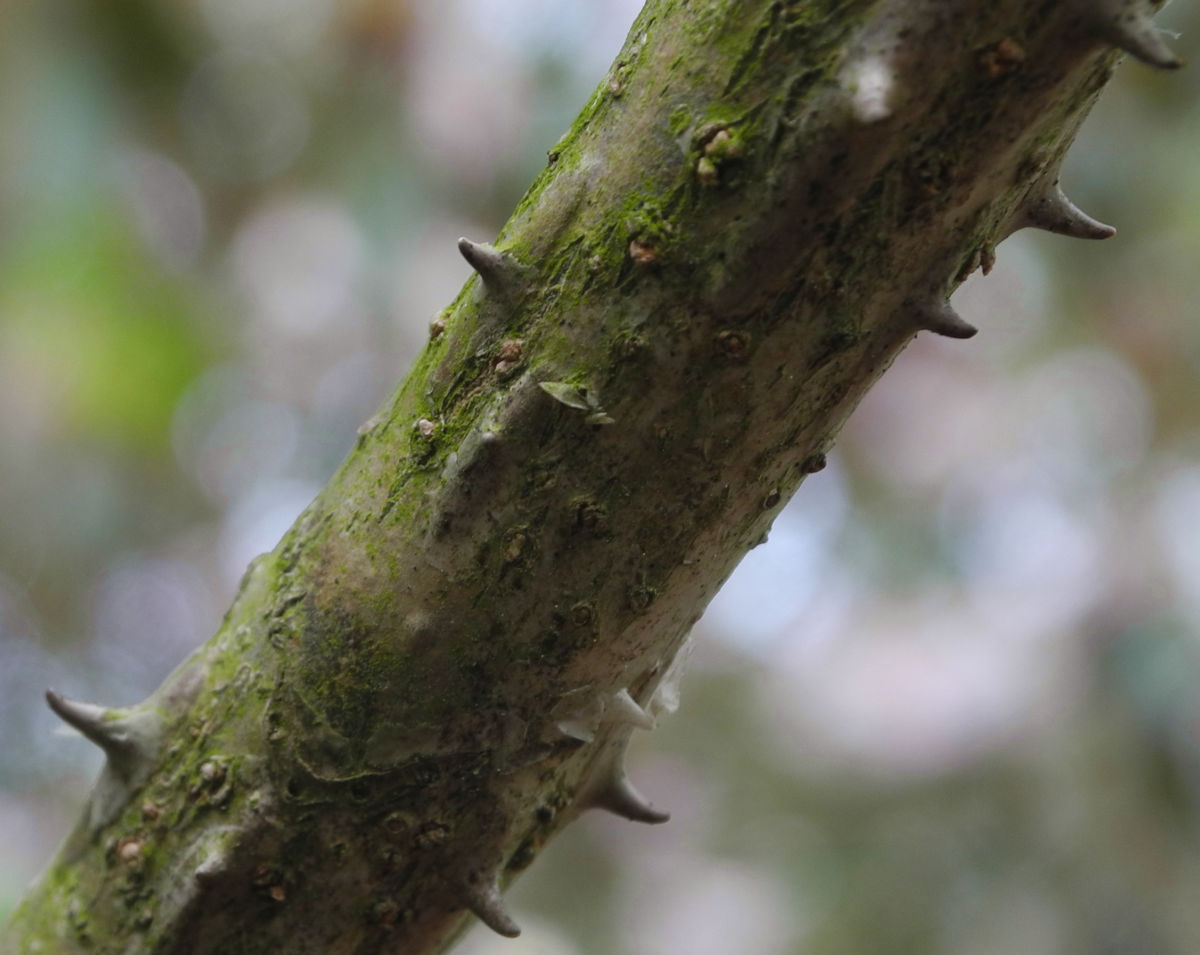 Baumaralie Rinde Stachel grau Kalopanax pictus