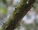 Zurück zum kompletten Bilderset Baumaralie Blatt grün Kalopanax pictus
