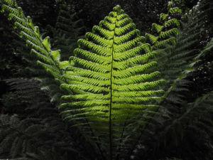 Baumfarn Blatt gruen Dicksonia antarctica0 0