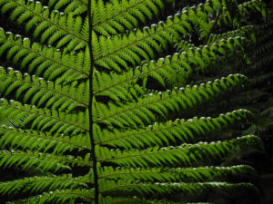 Baumfarn Blatt gruen Dicksonia antarctica01