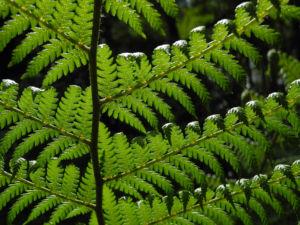 Baumfarn Blatt gruen Dicksonia antarctica0 1