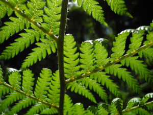 Baumfarn Blatt gruen Dicksonia antarctica0 2