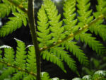Baumfarn Blatt gruen Dicksonia antarctica03