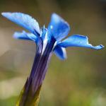 Bayerischer Enzian Bluete blau Gentiana bavarica 03