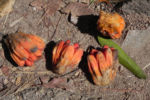 Bild: Beach Pandanus Blatt grün Frucht orange Pandanus pedunculatus