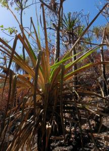 Beach Pandanus Blatt gruen Frucht orange Pandanus pedunculatus 02