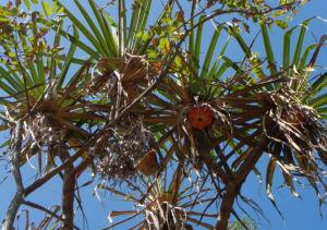 Beach Pandanus Blatt gruen Frucht orange Pandanus pedunculatus 03