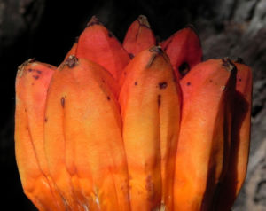 Beach Pandanus Blatt gruen Frucht orange Pandanus pedunculatus 06