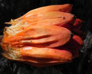 Beach Pandanus Blatt gruen Frucht orange Pandanus pedunculatus 09