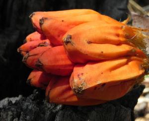 Beach Pandanus Blatt gruen Frucht orange Pandanus pedunculatus 10