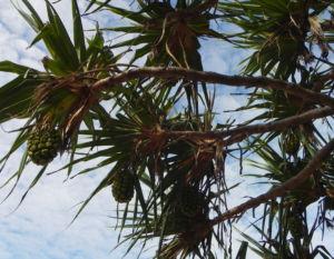 Beach Pandanus Blatt gruen Frucht orange Pandanus pedunculatus 14