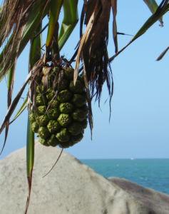 Beach Pandanus Blatt gruen Frucht orange Pandanus pedunculatus 20