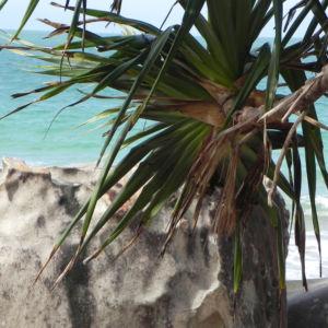 Beach Pandanus Blatt gruen Frucht orange Pandanus pedunculatus 21