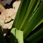 Beach Pandanus Blatt gruen Pandanus pedunculatus 15