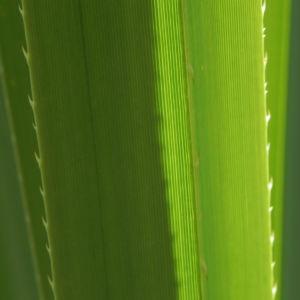 Beach Pandanus Blatt gruen Pandanus pedunculatus 19