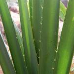 Bild:  Beach Pandanus Blatt grün Pandanus pedunculatus