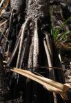 Beach Pandanus Rinde Luftwurzel silber grau Pandanus pedunculatus 12
