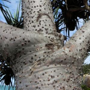 Beach Pandanus Rinde Luftwurzel silber grau Pandanus pedunculatus 15