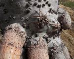 Beach Pandanus Rinde Luftwurzel silber grau Pandanus pedunculatus 17