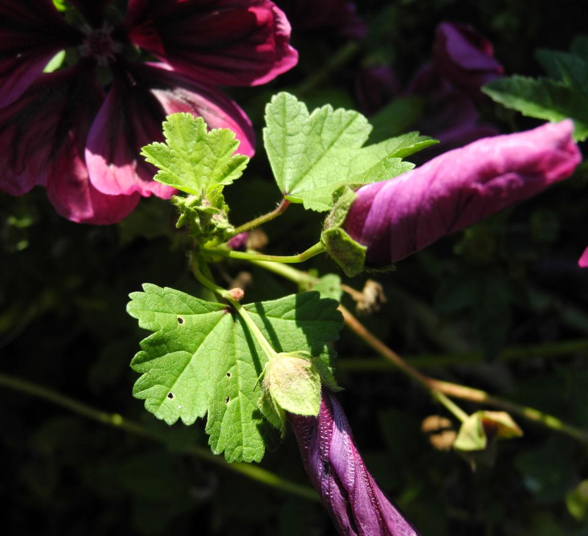 Bechermalve Bluete violett Lavatera trimestris