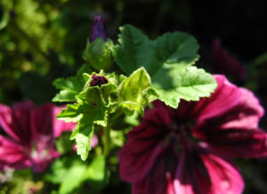 Bechermalve Bluete violett Lavatera trimestris 04